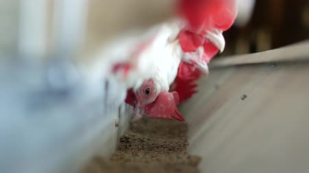 cluck : Poultry farm for breeding chickens and eggs, chickens pecking feed, close-up, ranch hens, poultry Stock Footage