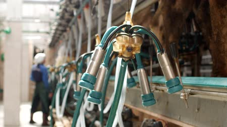 smoczek : Modern milking of cows on a large modern farm, milking cows milk on modern equipment, milking kine, industry Wideo