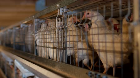 madárinfluenza : Breeding broiler chickens and chickens, broiler chickens sit behind bars in the hut, poultry house, fowl-run Stock mozgókép