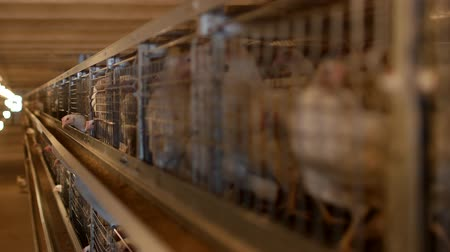 chicken coop : Breeding broiler chickens and chickens, broiler chickens sit behind bars in the hut, poultry house, industry Stock Footage