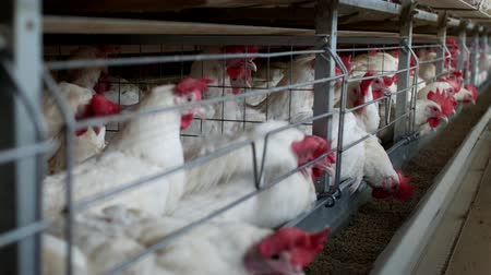 fiatal kis kakas : Poultry farm for breeding chickens and eggs, chickens pecking feed, close-up, factory hens, chicken farm