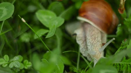 caracol : the snail crawls and eats in the grass