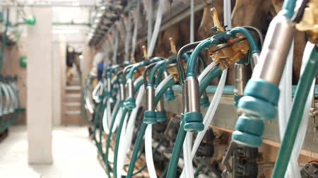 smoczek : Milking cows on a modern farm with milkmaids and equipment for milking cows, agriculture and industry, farming, process
