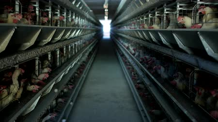 fiatal kis kakas : Poultry farm, chickens sit in open-air cages and eat mixed feed, on conveyor belts lie hens eggs, poultry house