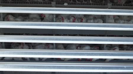 cluck : Poultry farm, chickens sit in open-air cages and eat mixed feed, on conveyor belts lie hens eggs, poultry house