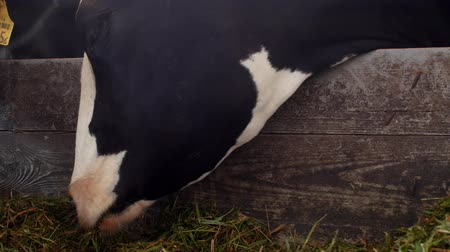 cote : A black cow with white spots stands in the barn and eats grass silage, close-up, cow muzzle, cow food and farming, cow face Stock Footage