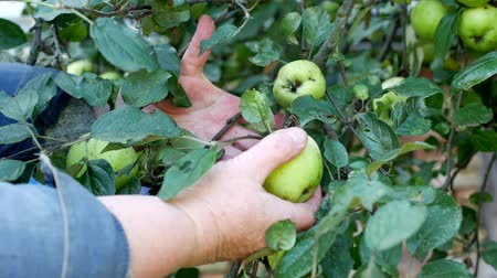 mellow autumn : Woman picking green apples from apple tree for harvesting for winter, close-up, green apples Stock Footage