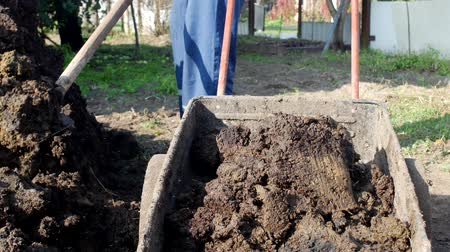 cradle : A man digs manure with a shovel to fertilize the soil and loads it into a garden cart for distribution around the garden, dung
