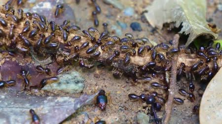 муравей : worker and soldier termites were eating pieces of wood