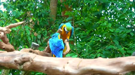 arara : the couple of blue macaw