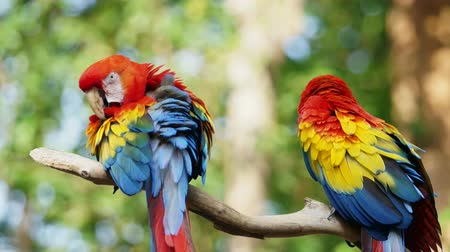 ara papagáj : Pair of colorful parrots in the rain forest jungle Stock mozgókép