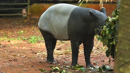 indicus : malayan tapir also call tapirus indicus Stock Footage