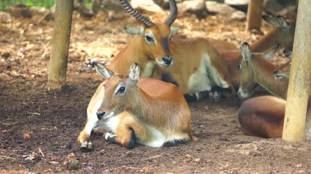 национальный парк : group of an impala was resting in the shade
