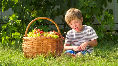 amadurecida : Harvesting concept. Boy eating grapes in fruit garden. Stock Footage