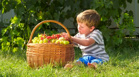 amadurecida : Harvest gathering. Child eating grapes outdoor.