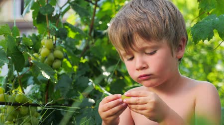 gałąź : Grapes in kids hands. Child eating grapes. Fruit harvesting