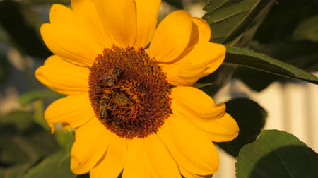 estigma : Sunflower with two honey bees collecting pollen on sunflower head.