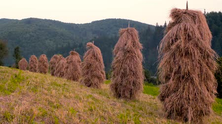 stock raising : Traditional haystacks in a mountain village, haystack on grass field. Hayfield. haystacks on a small field near the forest. Ukrainian village. Summer in the village. Eco living. Stock Footage
