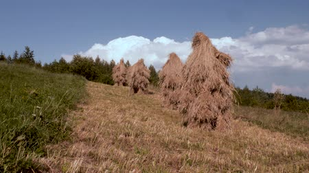 stock raising : Traditional haystacks in a mountain village, haystack on grass field. Hayfield. haystacks on a small field near the forest. Ukrainian village. Summer in the village. Eco living. Static view. Stock Footage
