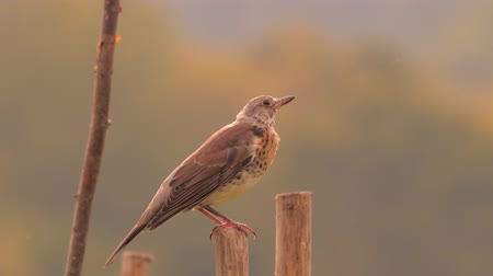 frondoso : Thrush bird sitting on wooden pile. Bird on wooden edge. Morning scene Flora and fauna of Carpathian mountain. Green tourism background. Non-urban scene. Ukrainian landscape, static view.