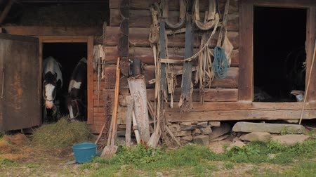 corral : Agriculture. Horses in stable. Beautiful horses waiting for grass, oat. Two horses taking rest in old wooden stable. Domestic animals concept. Old wooden stable with two horses on front, back yard Stock Footage
