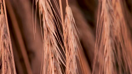 fruitful : Organic food. Organic flour basement. Healthy food concept. Green tourism concept. Agriculture background. Harvesting, reaping, crop. Fruitful work. Collected wheat, rye flakes background. Stock Footage