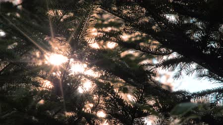 apple sign : Sun rays light shines through pine tree Beautiful background of sun lights and conifer