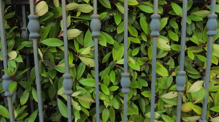 fragmented : Automated gate system. Hedge background. Green fence or boundary formed by closely growing bushes or shrubs. Closing gates with green leaves of hedge growing close to forged gates.