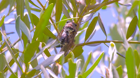 motivo : Singing cicada with olive leaves on background. Cicadidae on the tree trunk. Flora of Europe. Little cicadidae. Macro close up. Insect of wildworld. Cicada season. Insect sounds. Insomnia reason