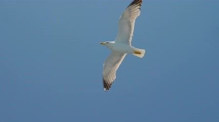 Seagull in clear blue sky. Bird in the sky. Wild bird flying high. Travel concept. Freedom idea. Wild animal living in natural environment Wideo