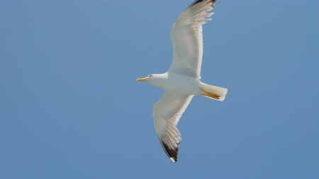 Seagull gliding in blue sky. Travel trends. Two seagulls soaring in blue sky. Soaring Seagull in the Sky. Seagull soars slowly using headwind against the backdrop of a clear sky Wideo