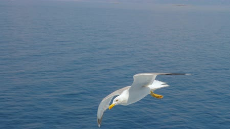 bird ecology : Seagull gliding above sea, ocean. Travel trends. Two seagulls soaring in blue sky. Soaring Seagull in the Sky. Seagull soars slowly using headwind against the backdrop of a clear sky