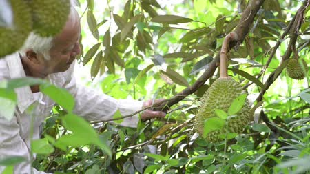 spikes : Asian farm people checking on durian tree in orchard.