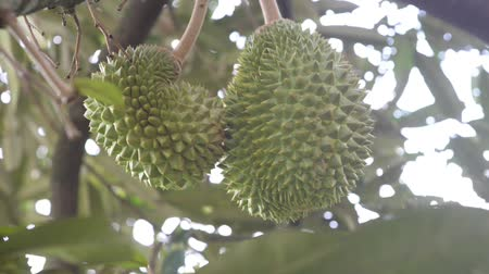 mal cheiroso : Fresh durian on the tree in the garden, king of fruit.