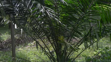ot : Palm oil plantation at south east Asia.