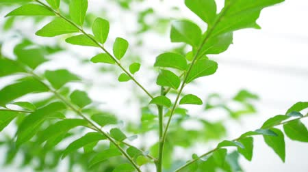 seasonings : Curry leaves tree plant close up footage
