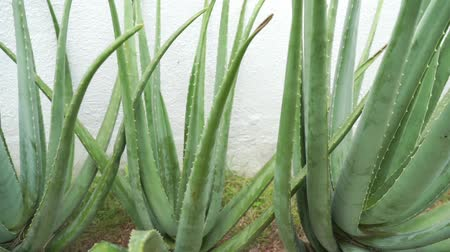homeopathic : Aloe vera plant footage video