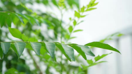 карри : Curry leaves tree plant close up footage