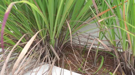 sapları : Lemongrass or cymbopogon plants footage video.