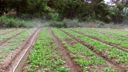 irrigation system : Sprinklers, Automatic Sprinkler irrigation system watering in the farm footage video, Malaysia. Stock Footage