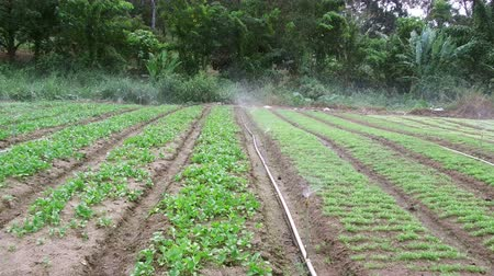 sprayer : Sprinklers, Automatic Sprinkler irrigation system watering in the farm footage video, Malaysia. Stock Footage