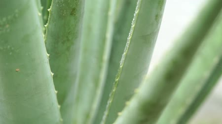 yağmur yağıyor : Rain drops on aloe vera plant close up footage video.