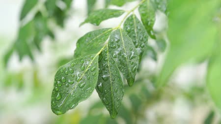 dešťové kapky : Rain drops on curry leaves tree plant close up footage video.