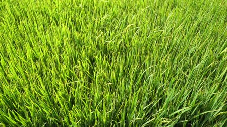 Slow motion: Green paddy field with wind blowing.