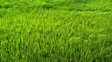 Green paddy field with wind blowing.