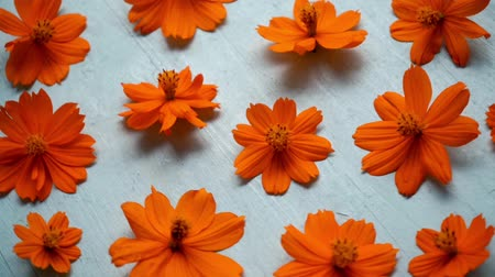 flat head : Orange cosmos flower on wooden background.