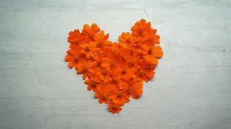 head over : Wind blowing over heart shape orange cosmos flower on wooden background.