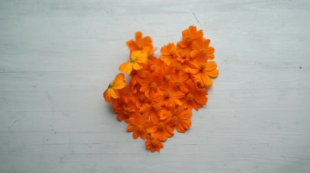 Slow motion: Wind blowing away heart shaped orange cosmos flower.