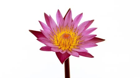 Time lapse of a pink water lily flower, isolated on white background. Стоковые видеозаписи