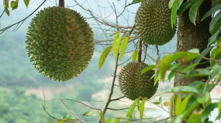 exotismo : Durian turn around on durian tree, cinemagraphs.